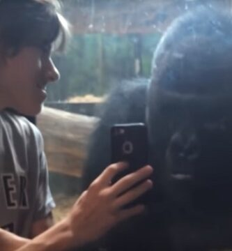 Un Chico Le Enseña Su Móvil A Un Gorila