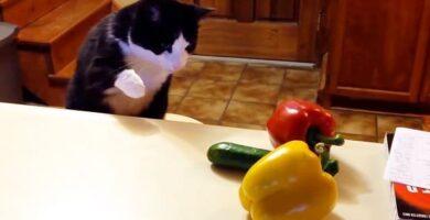 gato vs pepino