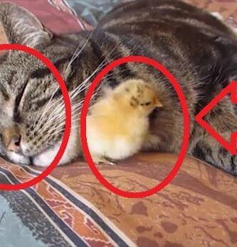 Gatos Adoptando Pollitos