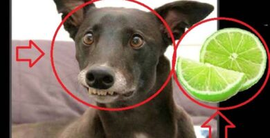 Perros Comiendo Limones