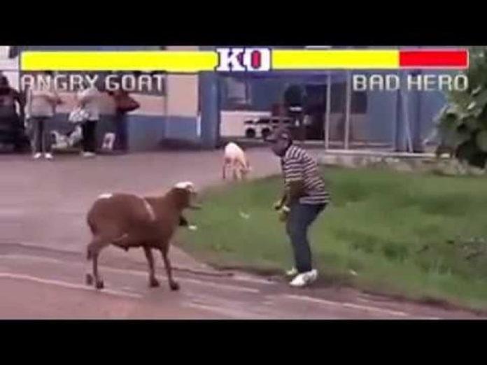Cabra VS Humano