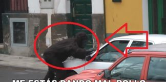 Gorila Se Escapa