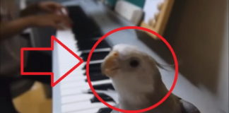 pájaro canta acordes de piano