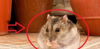 Hamster Comiendo Pipas