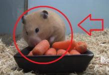 Hamster que come zanahorias