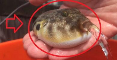 pez globo vomitando