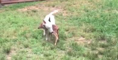 cervatillo y bull terrier