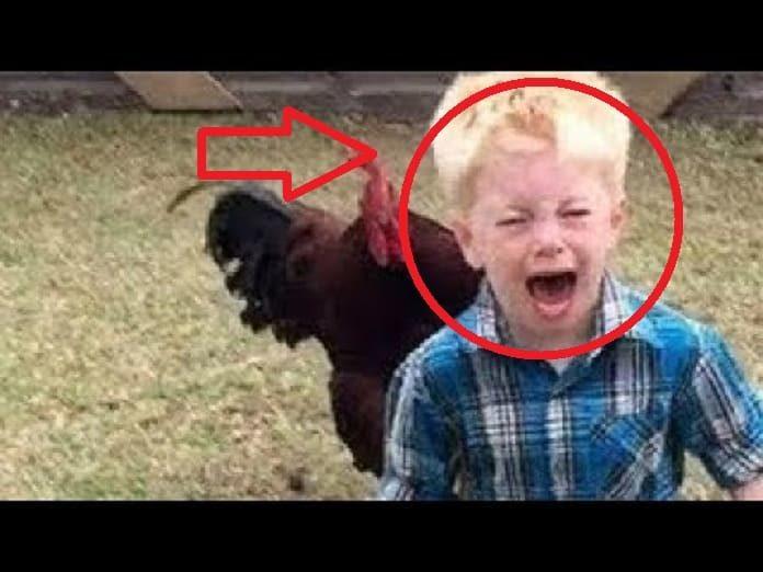 Gallos Persiguiendo a niños