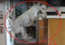 Perro Salta Como Un MUELLE POR LA COMIDA